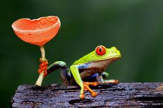 Clinging on: A red-eyed tree frog holds on to fungi to prevent it from slipping off a log in the tropical rainforest  Megan Lorenz