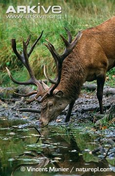 Red deer stag drinking