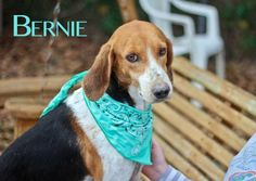 Howdy, I'm Bernie! I am a 2 year old walker hound mix. I am a very sweet gentleman. I get a bit trembly at times here in the shelter. It can be a bit scary for me, but I do love to snuggle with everyone I meet. That makes me feel more secure and...