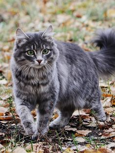 Very pretty tabby cat Cute Cats And Kittens, Baby Cats, Cool Cats, Ragdoll Kittens, Funny Kittens, Bengal Cats, White Kittens, Adorable Kittens, Pretty Cats
