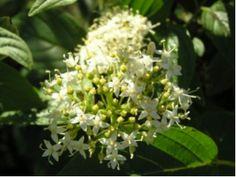Cornus stolonifera 'Flaviramea'GullkronellCornaceae KornellfamilienLIGNOSE