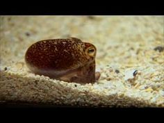 "The Hawaiian bobtail squid and its resident bacterium, Vibrio fischeri, have a powerful symbiotic relationship.  The luminescent bacteria populate a small pouch on the squid's underside called the light organ, and provide a sort of ""Klingon cloaking device.""  They produce light at night to offset the squid's shadow."