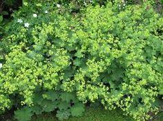 alchemilla mollis - bloei: juni-juli, en bij terugknippen t/m september. 30-50 cm hoog. zon/halfschaduw. graag vochtig.