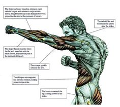 Anatomy & Physiology of Martial Arts Muscle Anatomy, Body Anatomy, Anatomy Study, Anatomy Art, Anatomy Drawing, Anatomy Reference, Human Anatomy, Drawing Reference, 7 Workout