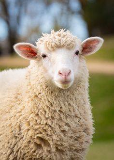 Daily Dose - November 2019 - A Lamb Named Humphrey Bogart - Polypay Sheep Lamb O'Brien Photography - All Rights Reserved Wire Fox Terrier Puppies, Bulldog Puppies, Farm Animals, Funny Animals, Cute Animals, Sheep And Lamb, A Sheep, British Shorthair Kittens, Kitten Care