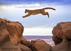 Jumping Mountain Lion-Copyright Carolyn E. Wright
