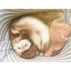 "820 Likes, 5 Comments - Oreo (@ferret_oreo) on Instagram: ""Need to be like this for ten mins after being waken up on weekdays #oreo#ferret#sleepy #wakeup…"""