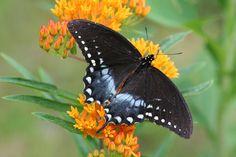 Spicebush Swallowtail~D. Simons photo