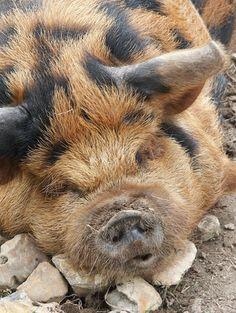 Kunekune Pig...just chilling