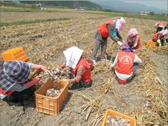 """하나님의교회(안상홍님) 관계자는""""농산물 가격의 하락과 일손부족으로 수확에 어려움을 겪는 농가를 격려하고자 성도들이 뜻을 모았다.   농사일이 어려운데 농작물의 자급자족에도 도움이 된다니 뿌듯하다.   앞으로도 지역사회에 필요한 일이라면 다양한 활동으로 이웃을 돕는 일을 지속할 계획이다.""""고 말했다."""