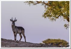 A water buck looks for danger on an elevated ridge