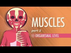 Muscles, part 2 - Organismal Level: Crash Course A&P #22 by thecrashcourse: Hank calls in a friend to do his push ups for him today to explain how skeletal muscles work together to create and reverse movements. Hank and Claire also demonstrate the role size plays in motor units, the three phase cycle of muscle twitches, and how the strength and frequency of an impulse affects the strength and duration of a contraction. This episode also explains
