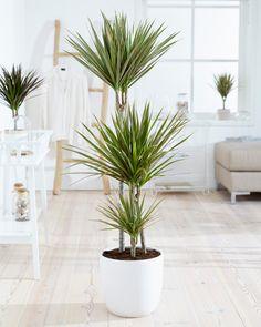philodendron plante d 39 int rieur verte et facile d. Black Bedroom Furniture Sets. Home Design Ideas
