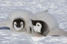赤ちゃんペンギンは、みんなで仲良く散歩する【モフモフ画像集】 Animals And Pets, Baby Animals, Funny Animals, Cute Animals, Penguin Love, March Of The Penguins, Baby Penguins, Galapagos Penguin, Animales