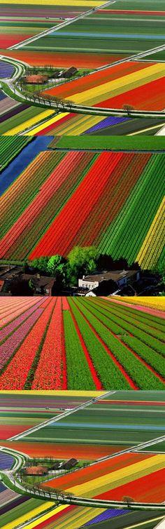 Tulip Fields  https://www.facebook.com/pages/MIMOMOSS-DESIGN-INTERIOR/207897965766