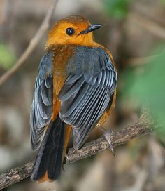 Red-capped Robin-Chat (Cossypha natalensis). Its natural habitat is subtropical or tropical dry forests. Africa