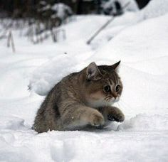 Russian Winter Kitty