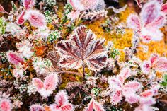 """Autumn Colors - Morning Frost - First morning frost at an arctic swamp - the temperature was around -7 degrees Celsius.  This is a leaf of a cloudberry surrounded by other small colorful plants of the swamp. The leaves get a vivid color during fall.  <a href=""""http://en.wikipedia.org/wiki/Rubus_chamaemorus"""">http://en.wikipedia.org/wiki/Rubus_chamaemorus</a>"""