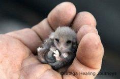 Baby possum (not opossum).