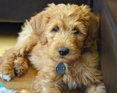 via the Daily Puppy  Puppy Breed: Labrador Retriever / Poodle  Hi! My name is Chewie, after the furry character in my favorite movie. I love my new home in Ventura, California, which is just a short walk to the beach! My people are always saying how smart I am because I learn everything so fast. My favorite things to do are play fetch with my busy bee, chase seagulls on the beach, get belly rubs, go to puppy class, and chew anything I can eventually eat.