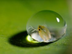 水滴の中に #ミジンコ に入ってもらって撮った写真です~。先ほどと違う照明方法ですが、こちらはこれでいいかなぁと思っています。