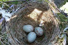 Mistle Thrushes eggs and nest