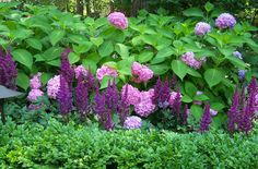 Perennial Combinations, Plant Combinations, Summer Borders, shade gardens, shade plants, hydrangea endless summer, chinese astilbe visions, boxwood, shady border, hydrangea macrophylla Endless summer, astilbe chinensis Visions, pink or purple flowers, car