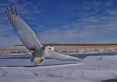 """""""Snowy Owl Action"""" by Rob McKay"""