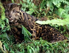Clouded leopard of Borneo... newest species of cat discovered (2007)