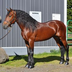Wow! Stunning! If I could ride this half Friesian half quarter horse stallion!