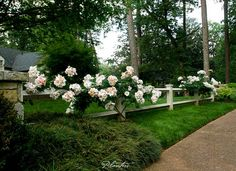 © Planters Garden and Jeremy Smearman. Buckhead Atlanta, GA, Westover Dr. -- Jeremy Smearman, climbing Sally Holmes rose, pink blooms, apricot blooms, white diamond rail fence, granite column, fescu lawn, pine trees, concrete aggregate sidewalk -- Photo is the property of Planters Garden, Jeremy Smearman or is being used under liscense agreement with the owner. All Rights Reserved.