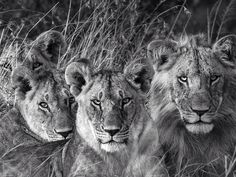 Four lion looking at you..