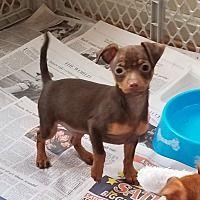 West Grove Pennsylvania Chihuahua Meet Chihuahua Puppies A