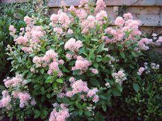 Ceanothus x pallidus 'Marie Simon' New Jersey Tea Bush