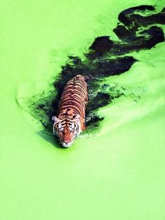 The green is so bright and I think it inspires me with the contrast of the tiger and the water