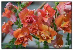 Antirrhinum majus 'Double Azalea Apricot' (Snapdragon) - Height 3', flowers summer until frost, full sun or part sun/shade, pinch tips to encourage more flowering stems, deadhead. Aphids, spider mites and caterpillers may be troublesome.