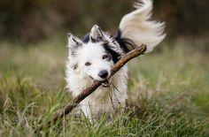 Happy Haku the border collie with his stick. Via Elite Forces of Fuzzy Destruction.