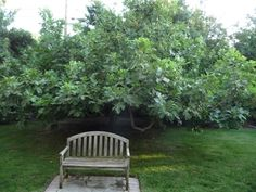 My future backyard fig tree Fruits And Veggies, Vegetables, Edible Food, Fig Tree, Water Conservation, Save Water, Dream Garden, Harvest, Lawn