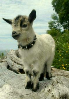 Baby goat. Love the collar btw