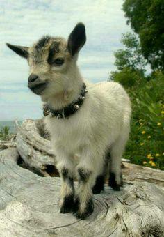 Baby goat. Love the collar btw