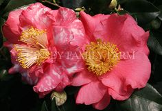 'R.L. Wheeler' Camellia japonica. Salmon red semi double anemone. Spring. Kinsey Family Farm Gainesville, GA.