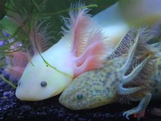 axolotls | DudeSweat] » Blog Archive » Axolotls aka Uparupas