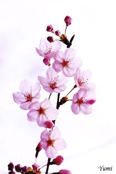 sakura (pink-colored version)