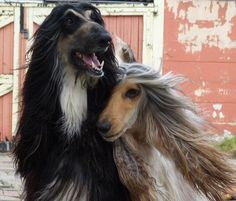 Maestro & Yentle - Gonny de Niet's Afghan Hounds. These 2 are the most beautiful dogs in this world. R.I.P. Gonny!