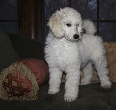 Baby poodle, Maggie, all spunk!!