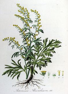 Wormwood, Absinthe - Artemisia absinthium - Medicinally Wormwood has been used to make a bitter tonic to stimulate appetite and improve digestion - circa 1885 Botanical Drawings, Botanical Illustration, Botanical Prints, Artemisia Absinthium, Illustration Botanique, Plant Drawing, Medicinal Plants, Poisonous Plants, Gardens