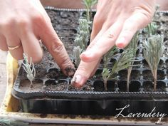 dugványozás Cuttings, How To Dry Basil, Project Ideas, Herbs, Garden, Plants, Lavender, Garten, Plant Cuttings