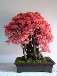 ~ Beautiful Bonsai Blossom ~ Bonsai trees symbolize harmony, honor, patience and happiness. They are the perfect addition to a relaxing environment.