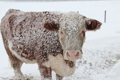 Seifert Cattle: What a Winter Storm Looks like to Farmer Barn Animals, Barnyard Animals, Hereford Cattle, Farm Town, Cow Photos, Show Cattle, I Love Snow, Winter Storm, The Ranch