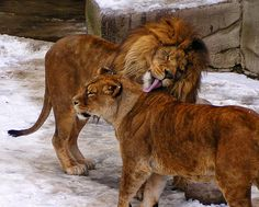 Lions by Kathy Weaver